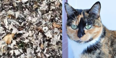 Tortoiseshell cat disappears in leaves