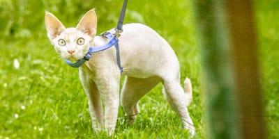 Katze mit Leine im Garten