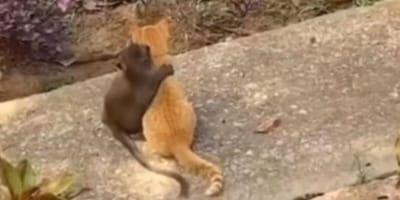 Monkey hugs ginger kitten
