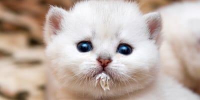 gattino bianco con occhi blu