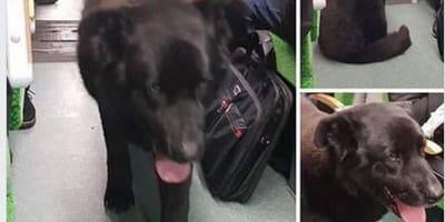 Czarny pies w pociągu.