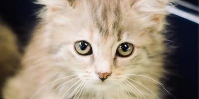 gattino-dal-mantello-chiaro