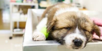 Kranker Welpe in Tierarztpraxis