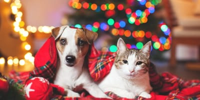 Jack Russell and cat snuggling on Christmas