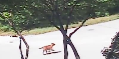 Heart-breaking: dog desperately chases after owner that abandoned her