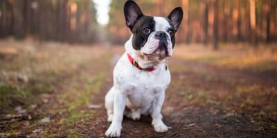 Koniec z psami hipertypowymi: trzeba ocalić buldoga francuskiego!