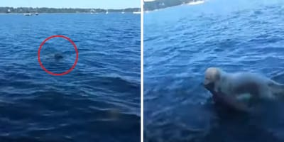 ¡Ver para creer! Este perro se tira al mar para salvar a un ciervo que se ahogaba