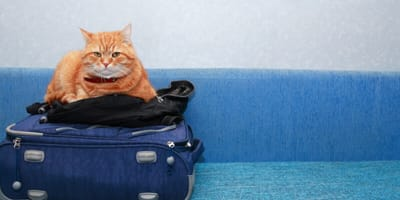 What papers does my cat need to be able to travel abroad?