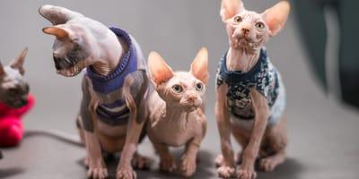 koty rasy bambino