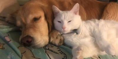 gatito huerfano acurrucado junto golden retriever
