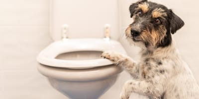 Jack Russell dog with paw on the toilet