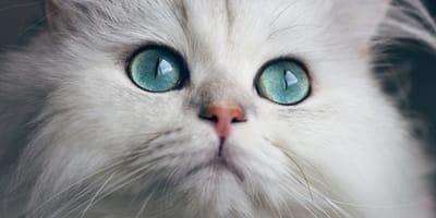 occhi-verde-acqua-di-gatto-bianco