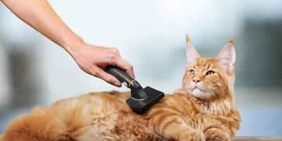 Łupież u kota: jakie są przyczyny i jakie leczenie należy podjąć?