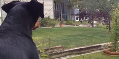 Rottweiler sieht etwas Unerhörtes im Garten und fängt wie verrückt an zu bellen
