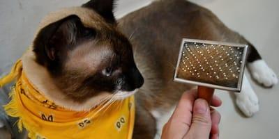 Caspa en gatos: todo lo que necesitas saber