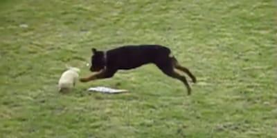 rottweiler corriendo con conejo