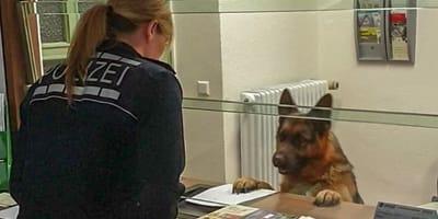 To nie żart: owczarek niemiecki przychodzi na policję, żeby złożyć doniesienie