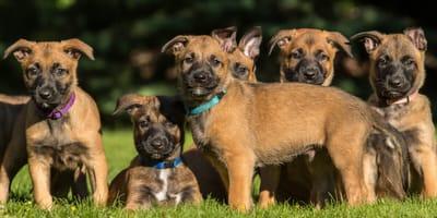 Schäferhund Welpen auf Wiese