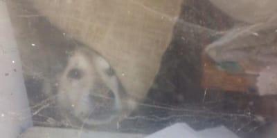 Cane-emaciato-davanti-al-vetro