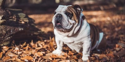 bulldog inglese su foglie d'autunno