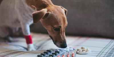 Dog with human medicine