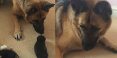 small kitten sniffing big german shepherd dog