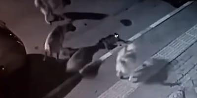 Überwachungskamera zeigt Katze und Hunde