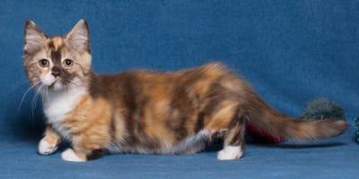 Come si chiamano i gatti con le zampe corte?