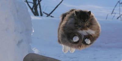 Niesamowite fińskie koty, które kochają śnieg!