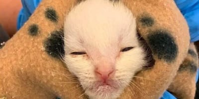 Little white rescue kitten