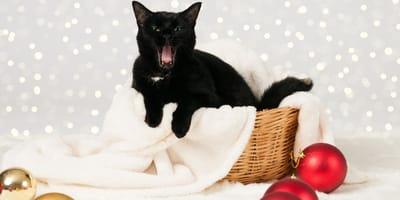 gato negro en islandia
