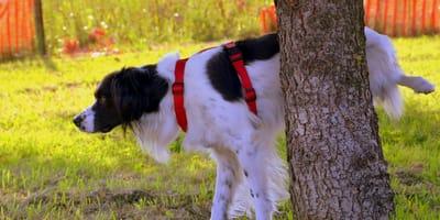 cane con cistite urina contro albero