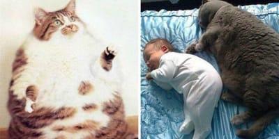 gatos gordo navidad