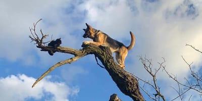Owczarek niemiecki na drzewie