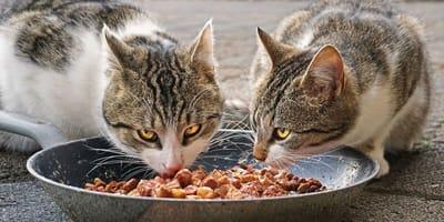 Due gatti che mangiano dalla stessa ciotola.