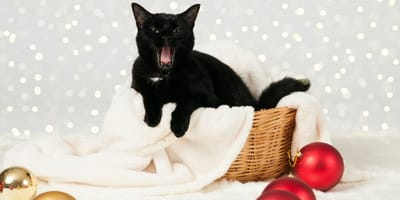 In Iceland, the black Christmas cat Jólakötturinn eats bad children