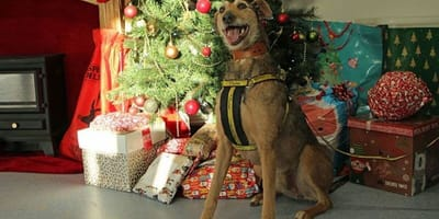 Large dog stands in front of christmas tree