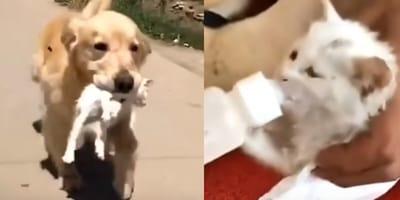 golden retriever carries kitten in mouth, kitten being bottle fed