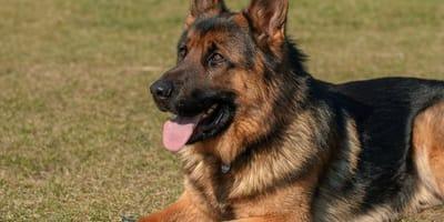 German Shepherd dog lies on grass