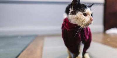 black and white moggy wearing a red sweater