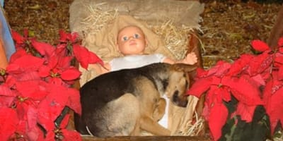 stray dog cuddled up to doll in manger