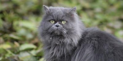 Grey persian cat in grass