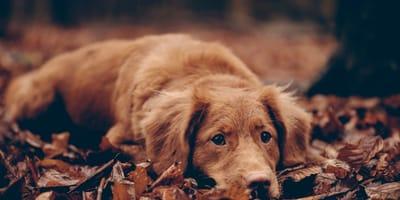 cane con singhiozzo steso su foglie