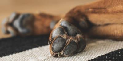 Perché esistono cani con zampe palmate?