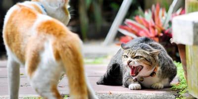 due gatti che litigano in strada