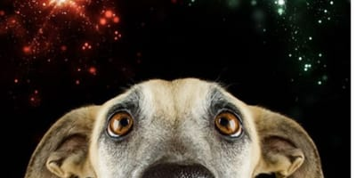 Could ASMR and aromatherapy ease your pet's NYE firework stresses?