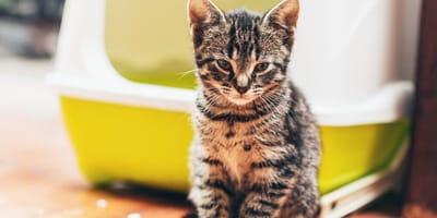 gattino-con-megacolon-vicino-alla-lettiera