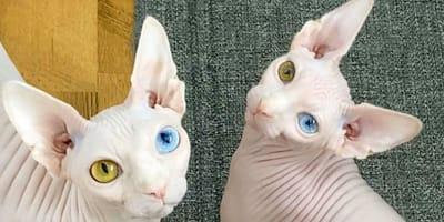 Koty)sfinks_z_cheterochromią_rozny_kolor_oczu
