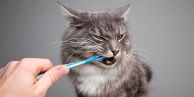Zahnpflege bei Katzen: So bleiben die Zähne stark und vital