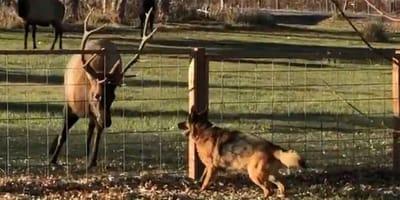 Hund und Wapiti stehen sich gegenüber